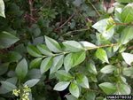 picture of Ligustrum vulgare, image of Ligustrum vulgare, photograph of -