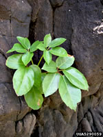 picture of -, image of Schefflera actinophylla, photograph of -