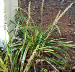 picture of Liriope muscari, image of Liriope muscari, photograph of -