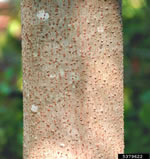 picture of Vernicia fordii, image of Vernicia fordii, photograph of -