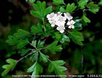picture of Crataegus monogyna, image of Crataegus monogyna, photograph of -