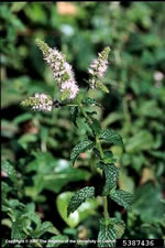 picture of Mentha spicata var. spicata, image of Mentha spicata, photograph of Mentha spicata