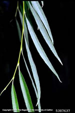 picture of Salix babylonica, image of Salix babylonica, photograph of Salix babylonica