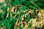 picture of Bromus arvensis, image of Bromus arvensis, photograph of -