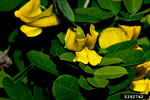 picture of -, image of Caragana arborescens, photograph of -