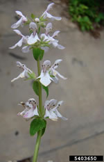 picture of Stachys floridana, image of Stachys floridana, photograph of Stachys floridana