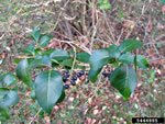 picture of Ligustrum ovalifolium, image of Ligustrum ovalifolium, photograph of Ligustrum ovalifolium