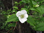 picture of Rhodotypos scandens, image of Rhodotypos scandens, photograph of -