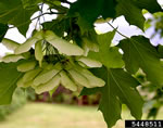 picture of Acer platanoides, image of Acer platanoides, photograph of -