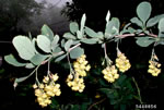 picture of Berberis vulgaris, image of Berberis vulgaris, photograph of -
