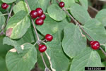 picture of Lonicera xylosteum, image of Lonicera xylosteum, photograph of -