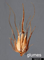 picture of Cenchrus ciliaris, image of Pennisetum ciliare, photograph of -