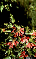 picture of Acer ginnala, image of Acer ginnala, photograph of -