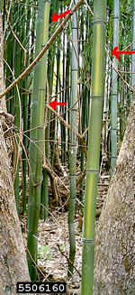 picture of Phyllostachys aureosulcata, image of Phyllostachys aureosulcata, photograph of -