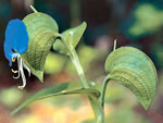 picture of Commelina communis, image of Commelina communis, photograph of Commelina communis