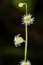 picture of Mitella diphylla, image of Mitella diphylla, photograph of Mitella diphylla