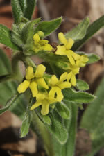 picture of Lithospermum tuberosum, image of Lithospermum tuberosum, photograph of Lithospermum tuberosum