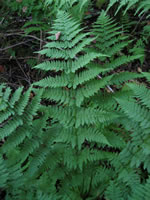 picture of Dryopteris carthusiana, image of Dryopteris carthusiana, photograph of Dryopteris spinulosa