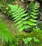 picture of Dryopteris celsa, image of Dryopteris celsa, photograph of Dryopteris celsa
