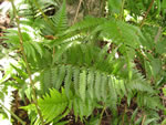picture of Dryopteris ludoviciana, image of Dryopteris ludoviciana, photograph of Dryopteris ludoviciana