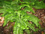 picture of Polystichum acrostichoides, image of Polystichum acrostichoides var. acrostichoides, photograph of Polystichum acrostichoides