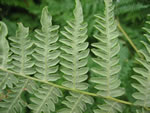 picture of Pteridium latiusculum +, image of Pteridium aquilinum +, photograph of Pteridium aquilinum +