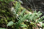 picture of Polypodium virginianum, image of Polypodium virginianum, photograph of Polypodium virginianum