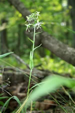 picture of Platanthera lacera, image of Platanthera lacera, photograph of Habenaria lacera