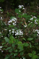 picture of Cardamine bulbosa, image of Cardamine bulbosa, photograph of Cardamine bulbosa