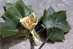 picture of Liriodendron tulipifera var. tulipifera, image of Liriodendron tulipifera, photograph of Liriodendron tulipifera