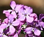 picture of Lunaria annua, image of Lunaria annua, photograph of -