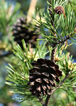 picture of Pinus virginiana, image of Pinus virginiana, photograph of Pinus virginiana