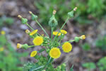 picture of Sonchus asper, image of Sonchus asper, photograph of Sonchus asper