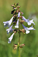 picture of Salvia lyrata, image of Salvia lyrata, photograph of Salvia lyrata