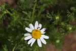 picture of Anthemis cotula, image of Anthemis cotula, photograph of Anthemis cotula