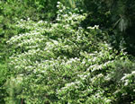 picture of Ligustrum sinense, image of Ligustrum sinense, photograph of Ligustrum sinense