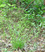 picture of Poa autumnalis, image of Poa autumnalis, photograph of Poa autumnalis