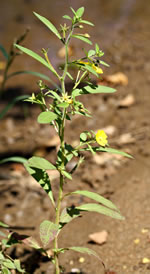 picture of Ludwigia leptocarpa, image of Ludwigia leptocarpa, photograph of Ludwigia leptocarpa