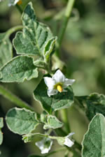 picture of Solanum sarrachoides, image of Solanum physalifolium, photograph of Solanum sarrachoides