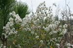 picture of Baccharis halimifolia, image of Baccharis halimifolia, photograph of Baccharis halimifolia