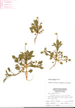 picture of Viola arvensis, image of Viola arvensis, photograph of Viola arvensis