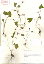 picture of Viola esculenta, image of Viola Xesculenta [septemloba X triloba], photograph of Viola septemloba