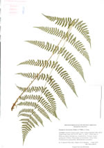 picture of Dryopteris intermedia, image of Dryopteris intermedia, photograph of Dryopteris intermedia