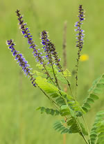 picture of Amorpha confusa, image of Amorpha georgiana var. confusa, photograph of Amorpha georgiana