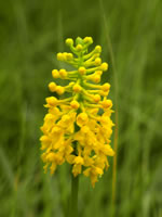 picture of Platanthera integra, image of Platanthera integra, photograph of Habenaria integra
