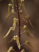 picture of Listera australis, image of Listera australis, photograph of Listera australis