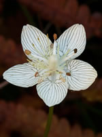 Carolina Grass-of-Parnassus