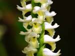 picture of Spiranthes odorata, image of Spiranthes odorata, photograph of Spiranthes cernua var. odorata