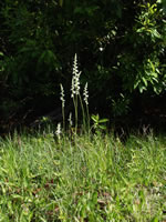 picture of Spiranthes praecox, image of Spiranthes praecox, photograph of Spiranthes praecox