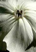 picture of Silene coronaria, image of Lychnis coronaria, photograph of Lychnis coronaria